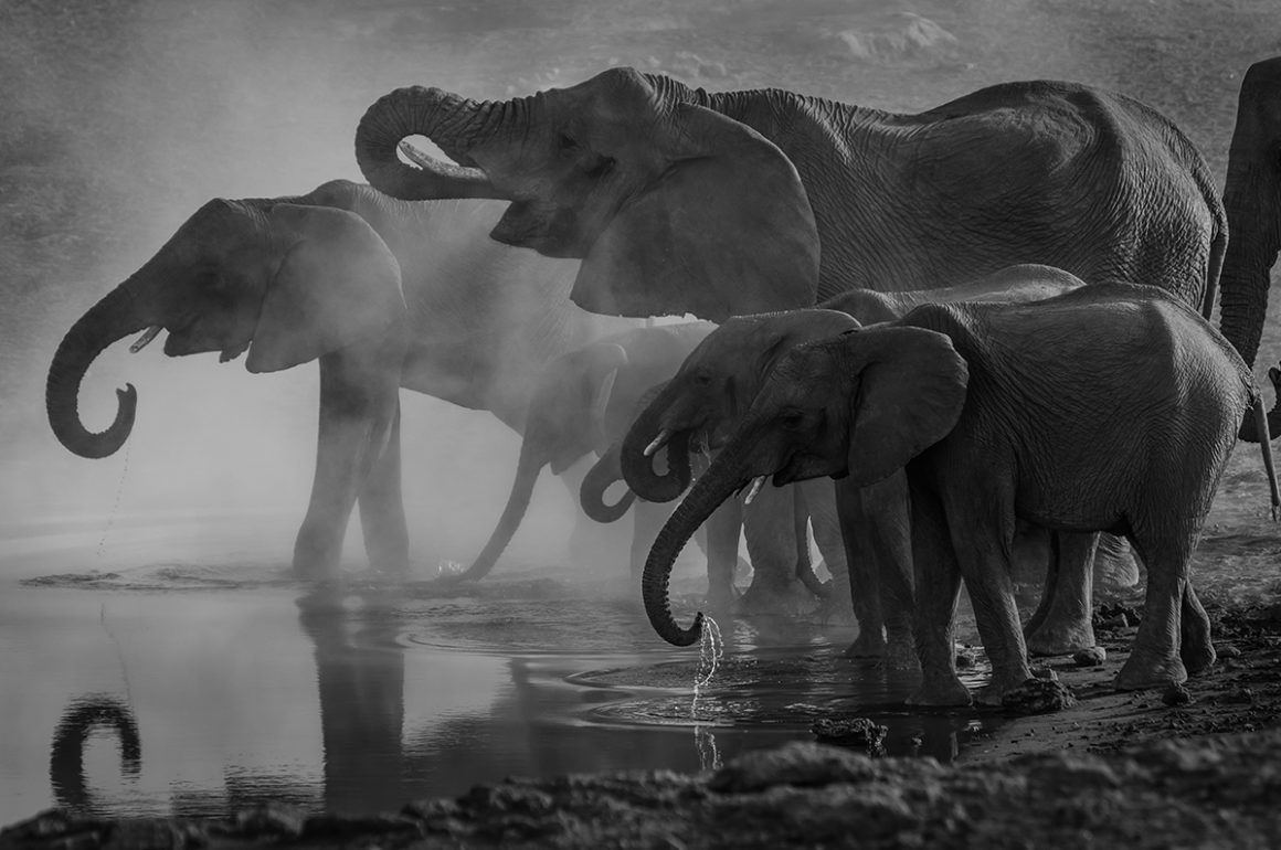 black and white image of a herd of elephants drinking from a watering hole