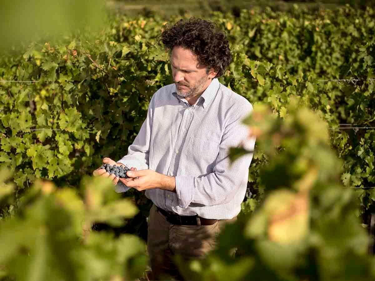 Man picking purple grapes on a vineyard