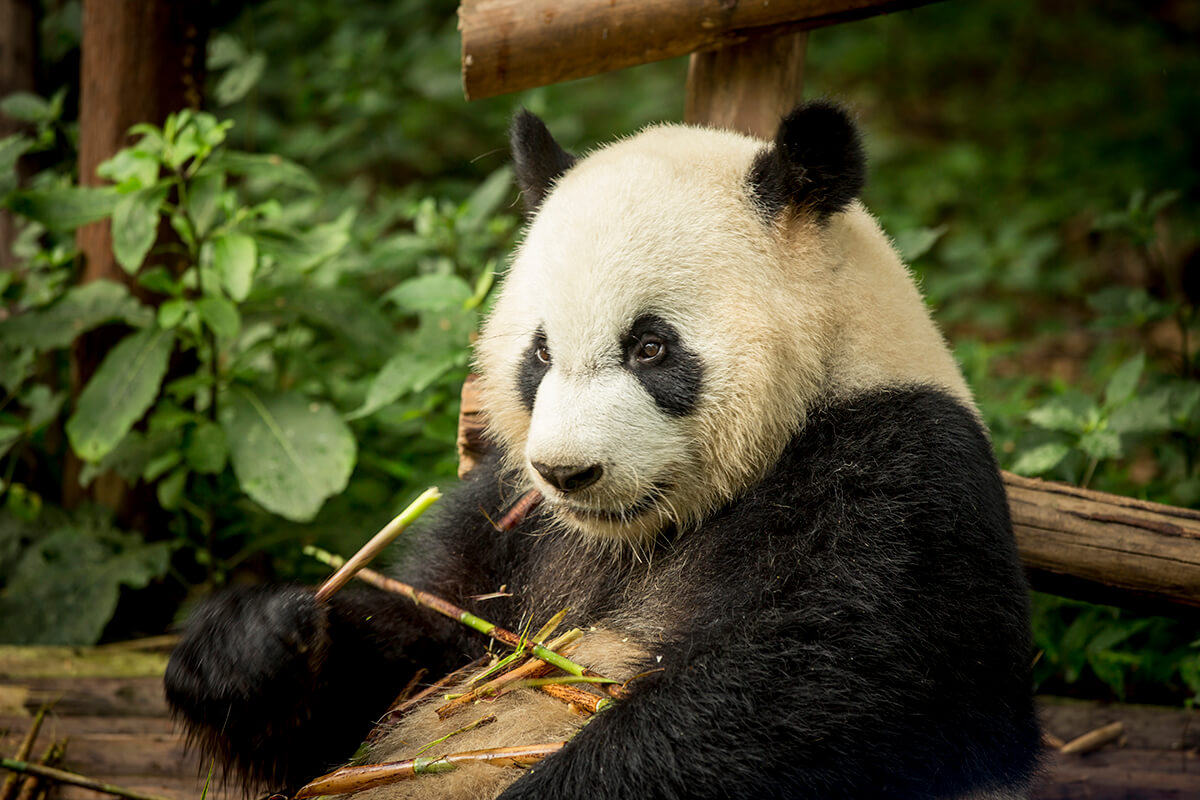 panda sitting in the wild eating bamboo