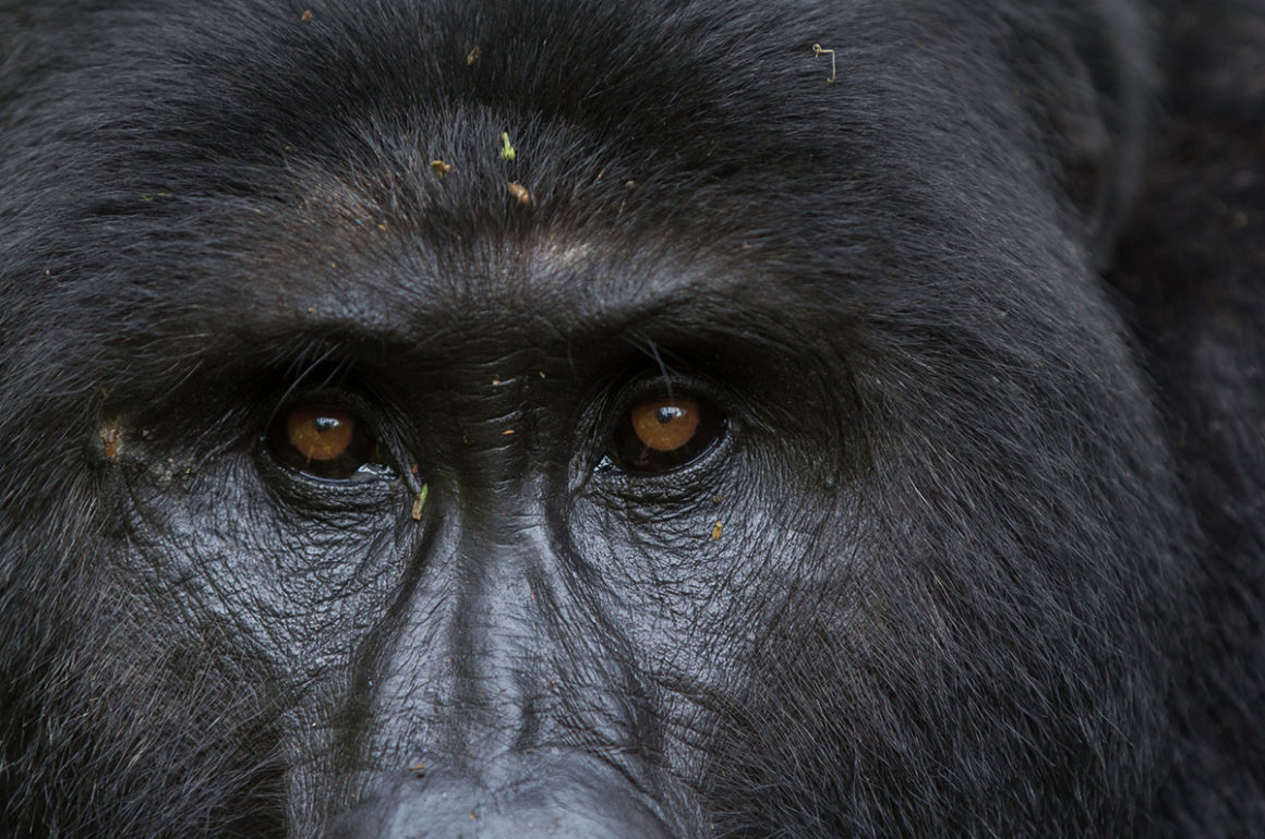 Close up photograph of a gorilla's face